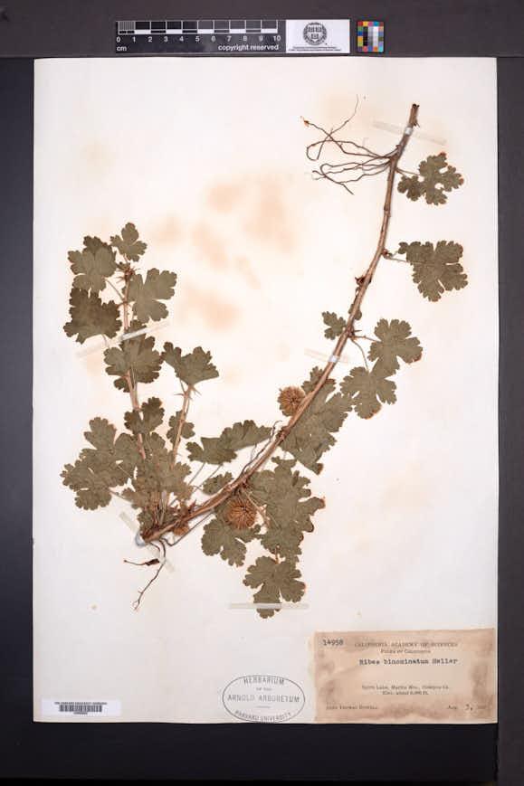 Ribes binominatum image