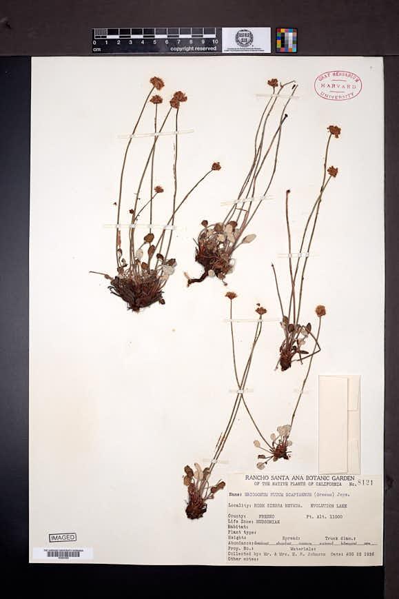 Eriogonum nudum var. scapigerum image