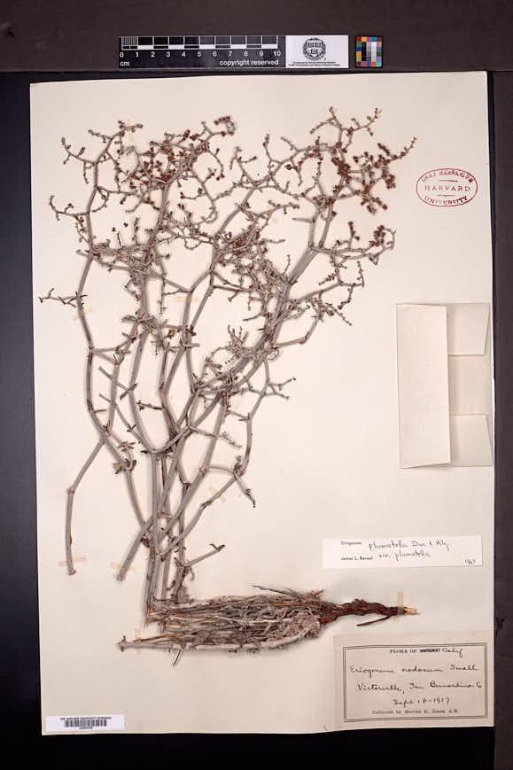 Eriogonum plumatella image