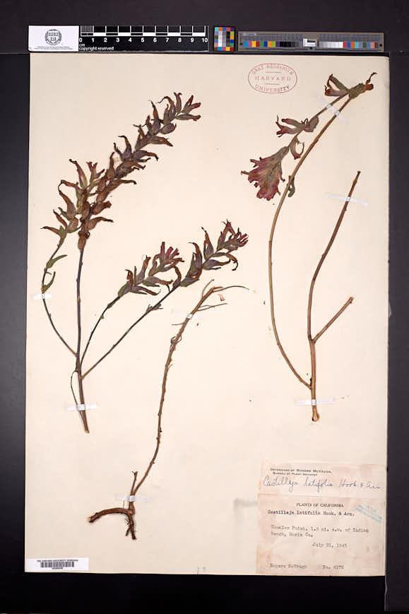 Castilleja latifolia image