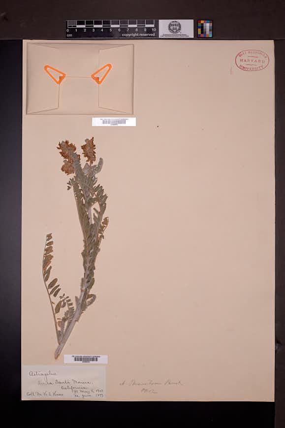Image of Astragalus brauntonii