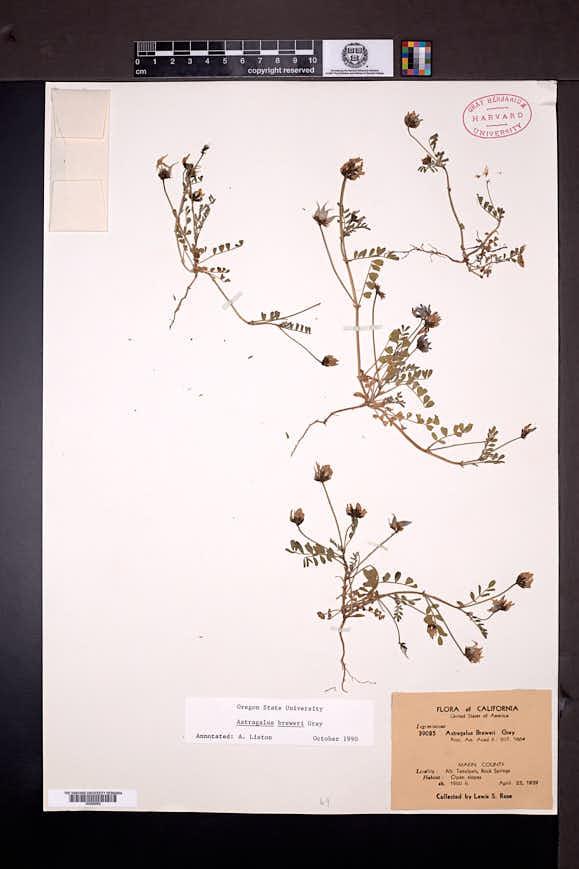 Astragalus breweri image