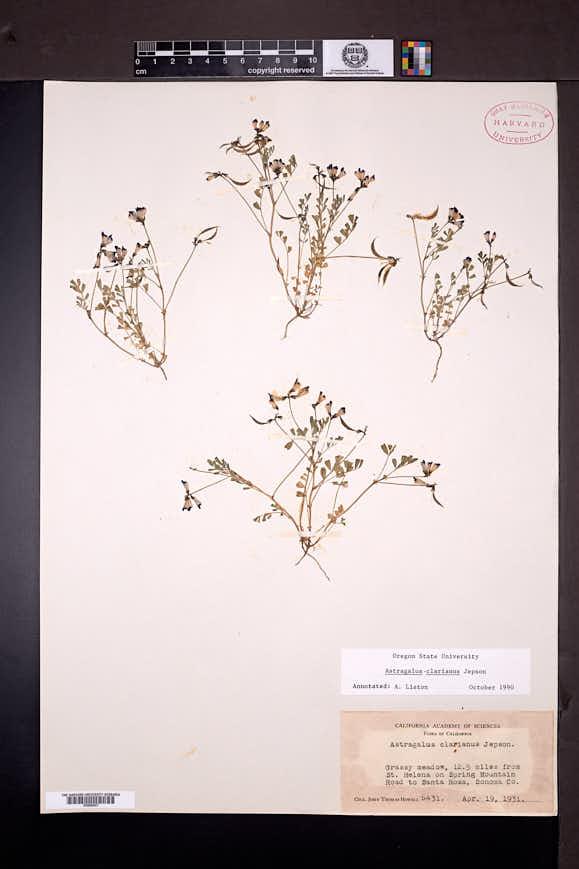 Image of Astragalus clarianus
