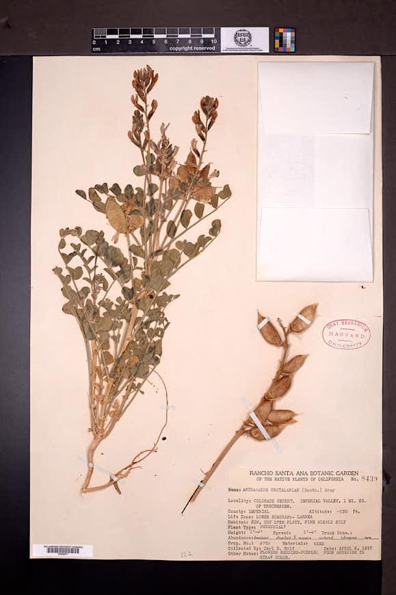 Astragalus crotalariae image