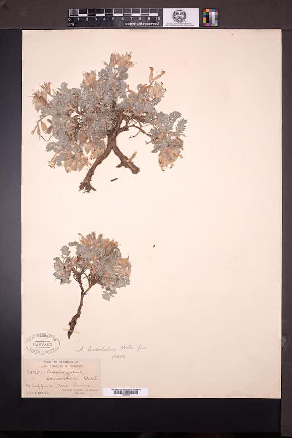 Astragalus leucolobus image