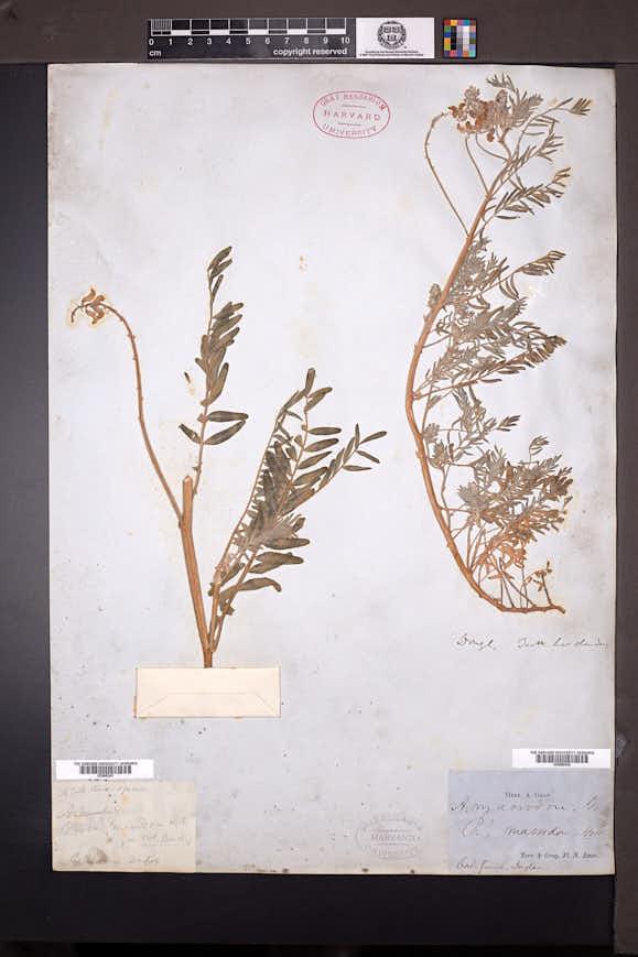 Image of Astragalus macrodon