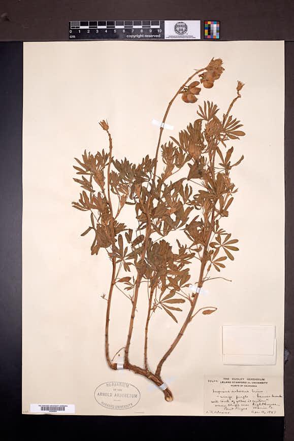 Lupinus arboreus image