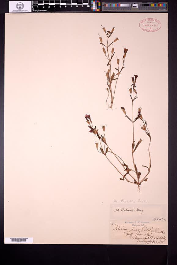 Erythranthe filicaulis image