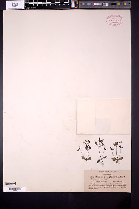 Erythranthe inconspicua image