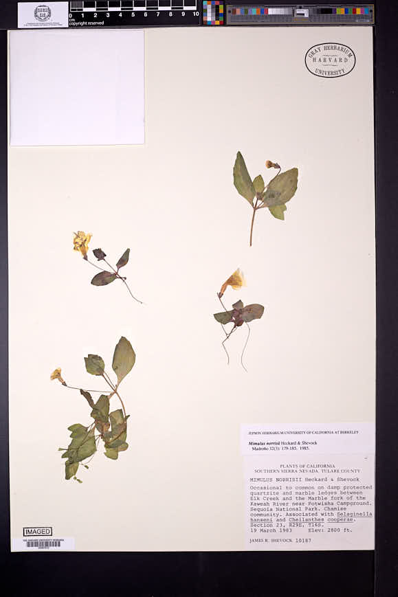 Image of Erythranthe norrisii