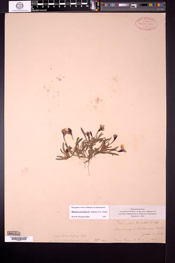 Image of Diplacus pulchellus