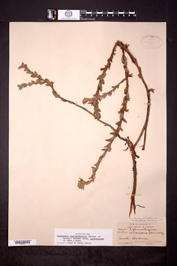 Camissonia cheiranthifolia image