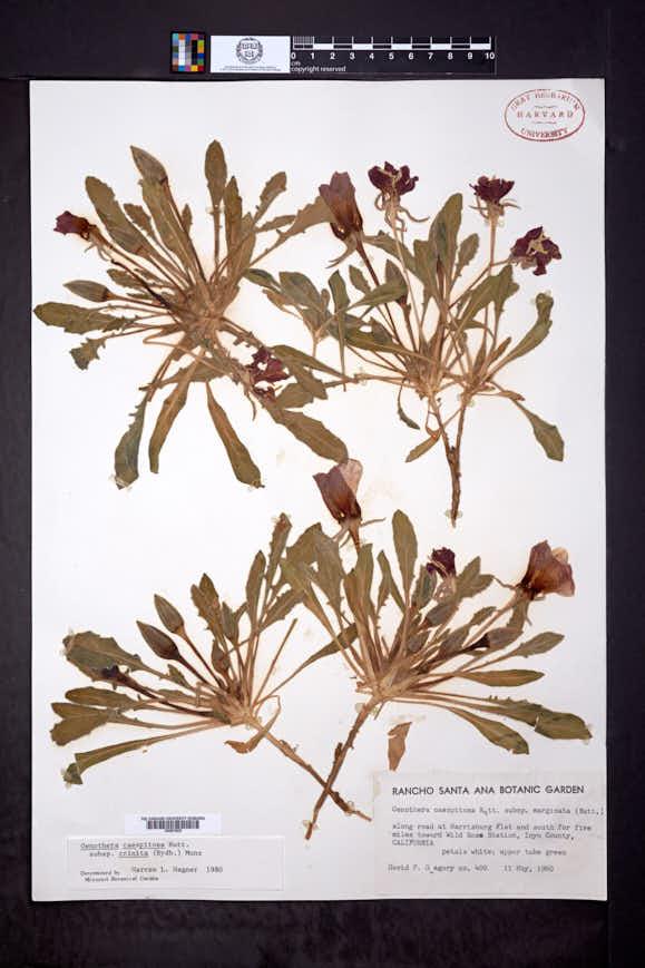 Oenothera cespitosa subsp. crinita image