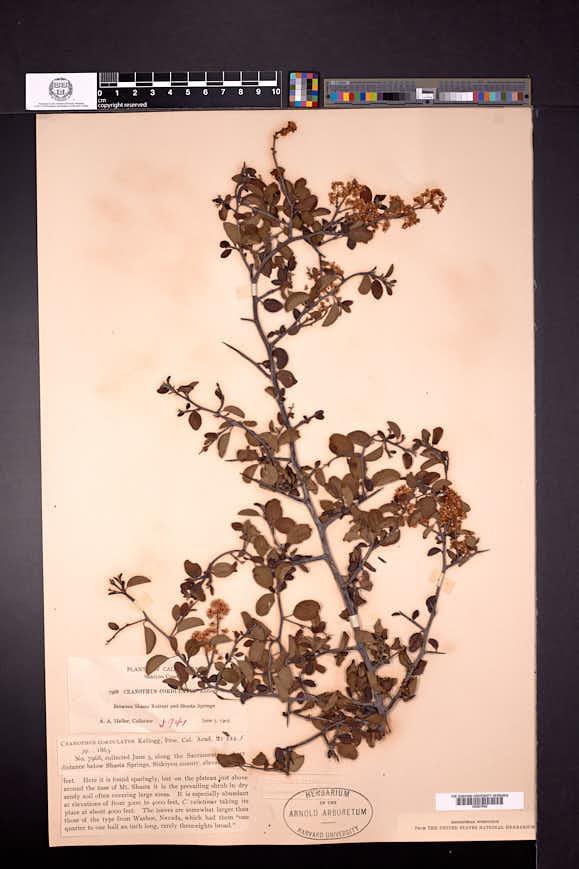 Ceanothus cordulatus image