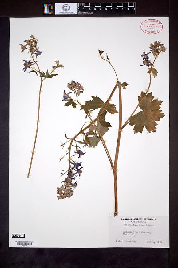 Image of Delphinium bakeri
