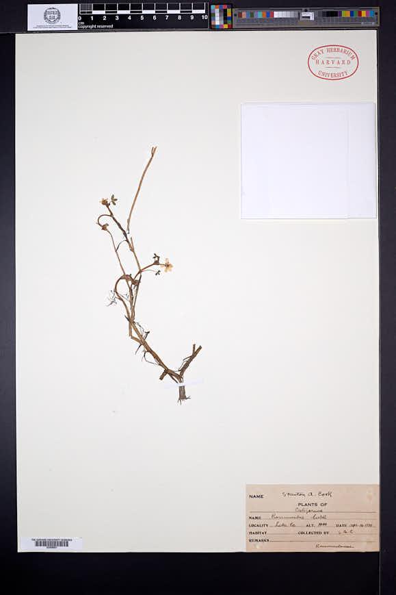 Ranunculus lobbii image