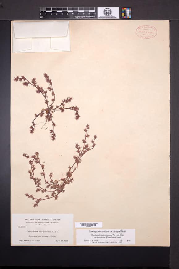 Chorizanthe polygonoides image