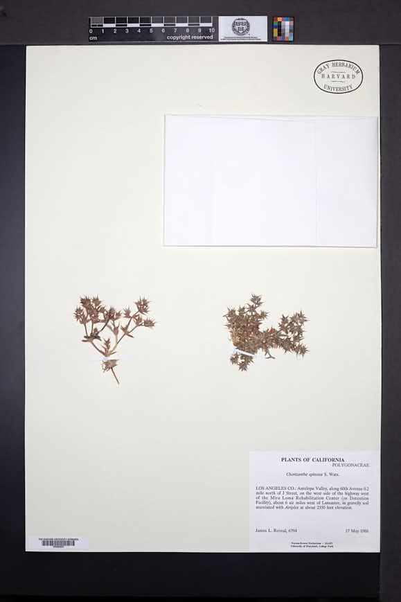 Chorizanthe spinosa image
