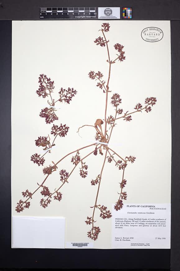 Chorizanthe ventricosa image