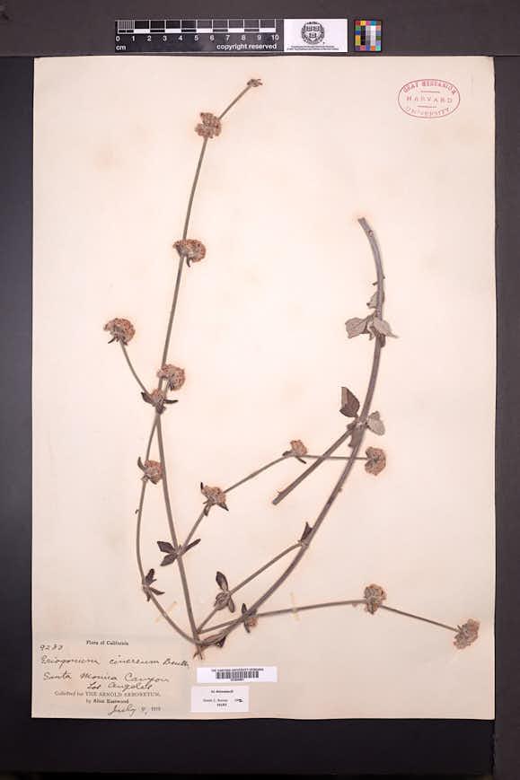 Eriogonum cinereum image