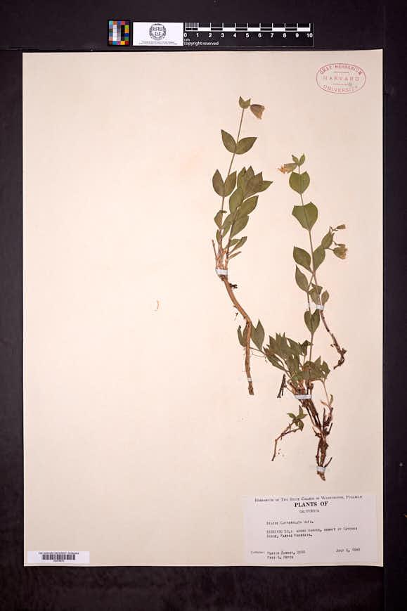 Silene campanulata image