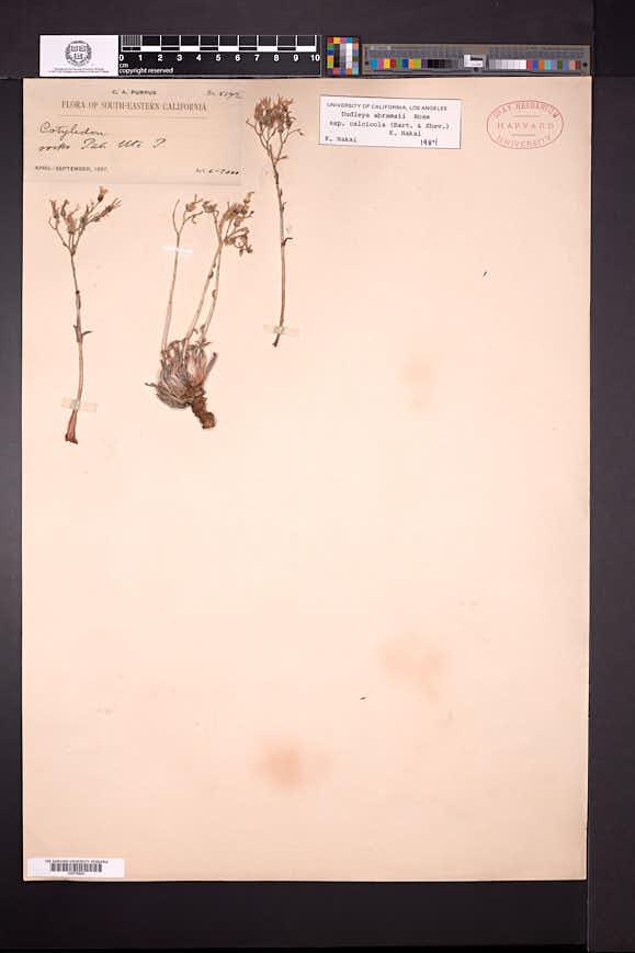 Image of Dudleya calcicola