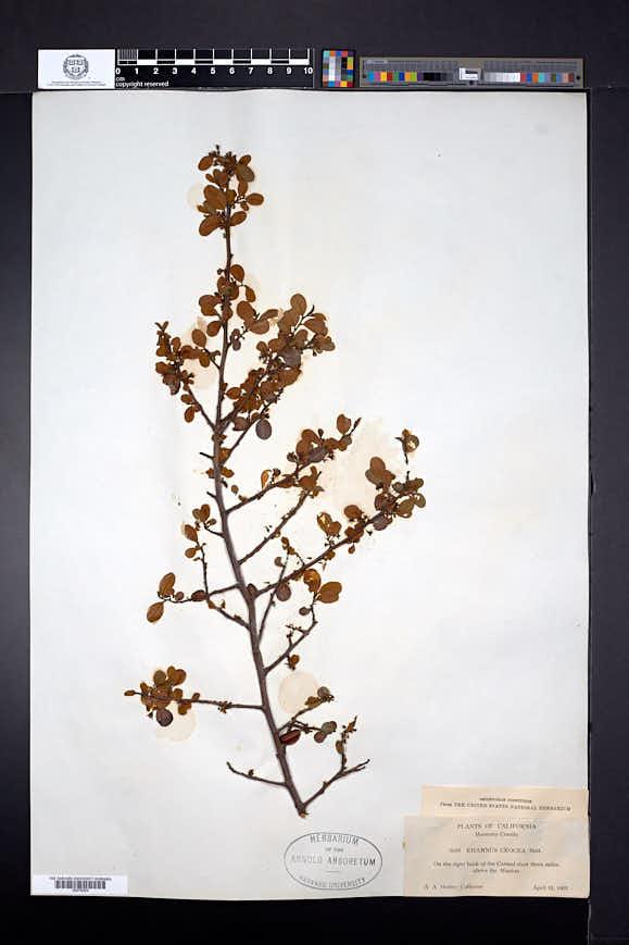 Rhamnus crocea image