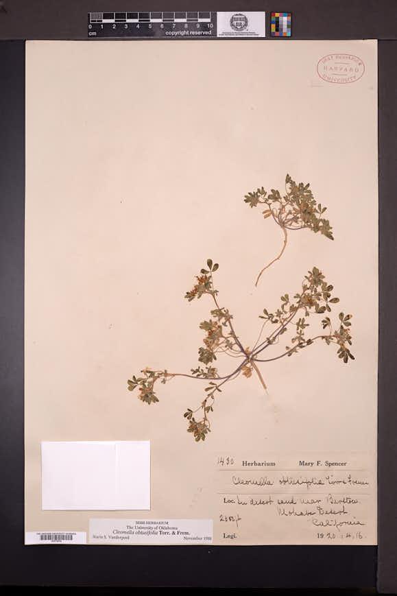 Cleomella obtusifolia image