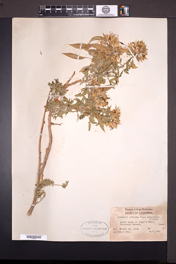 Peritoma arborea var. angustata image