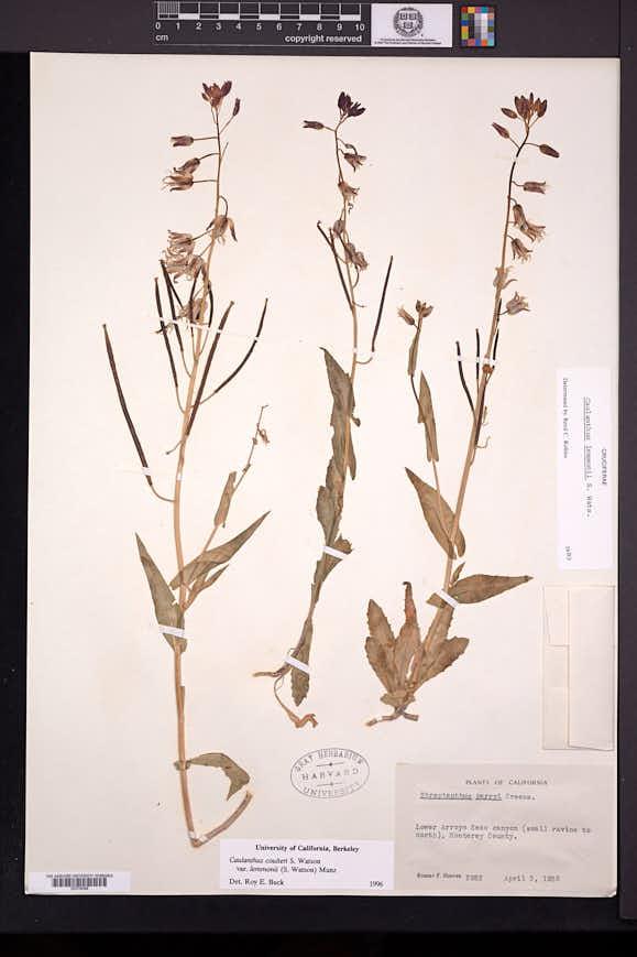 Caulanthus lemmonii image