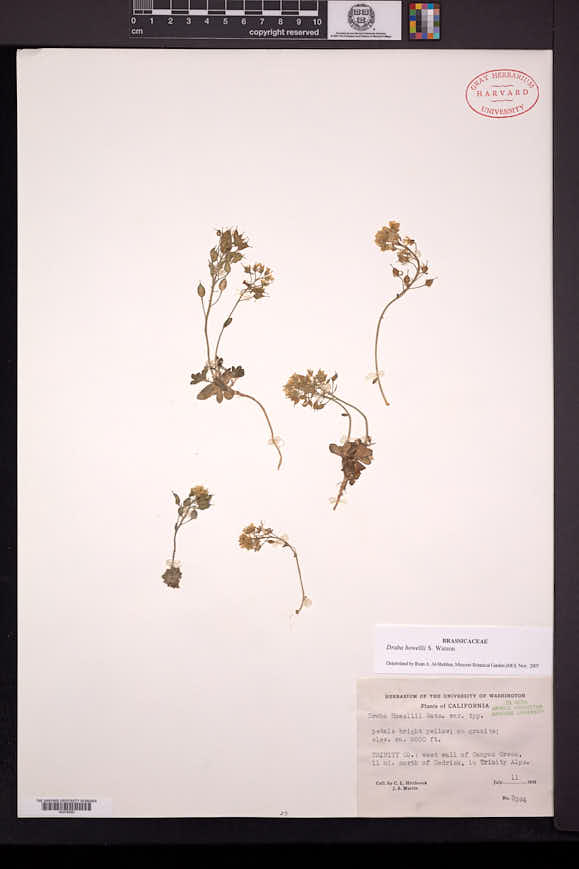 Image of Draba howellii