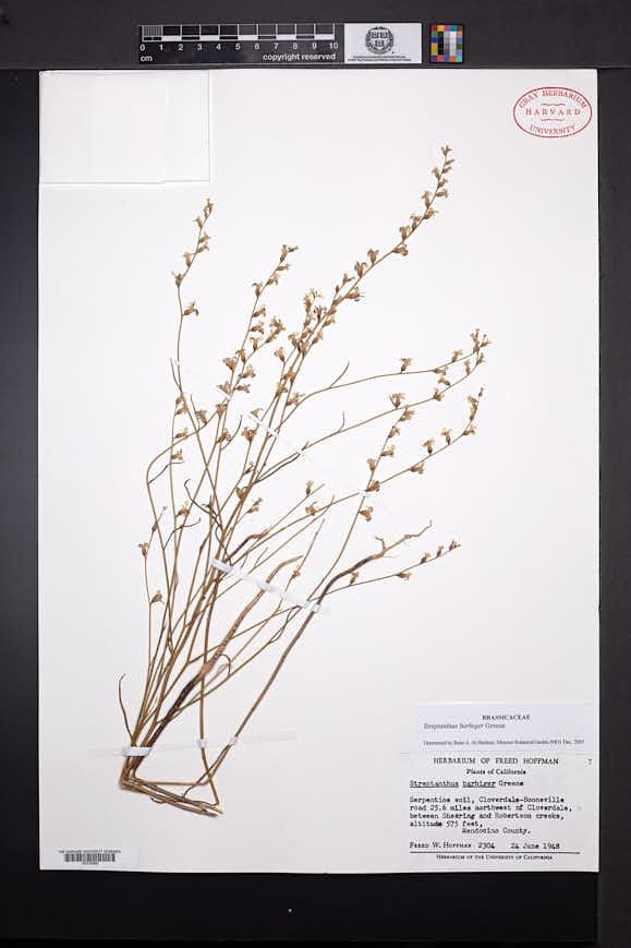 Streptanthus barbiger image