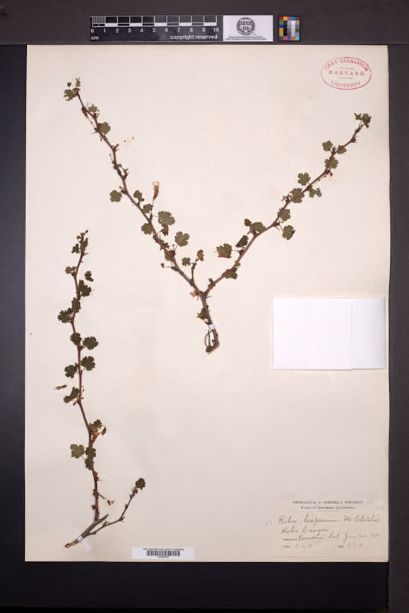 Ribes californicum image