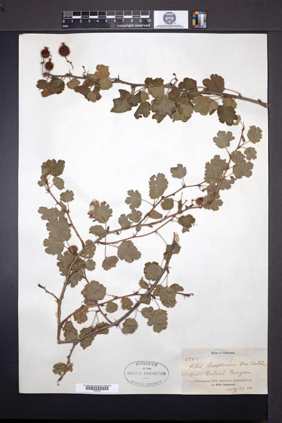 Ribes hesperium image