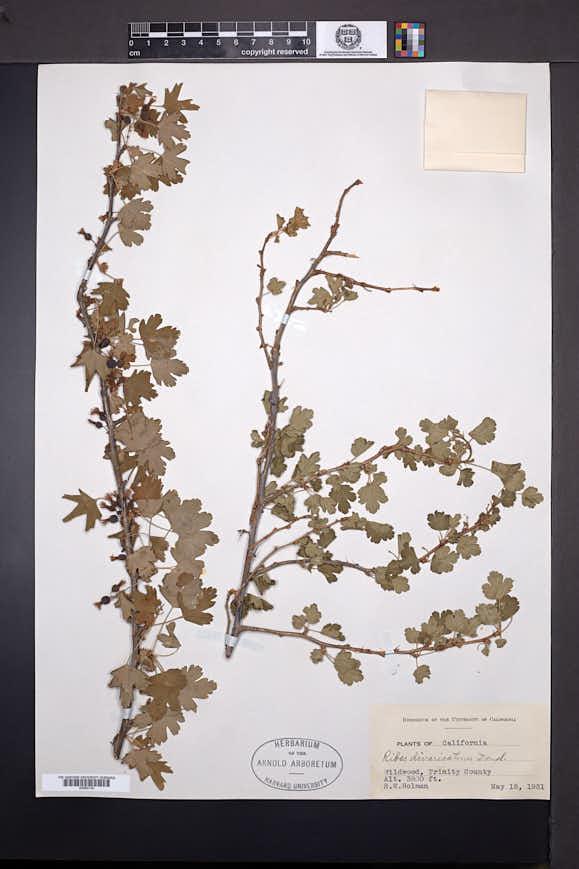 Ribes divaricatum image