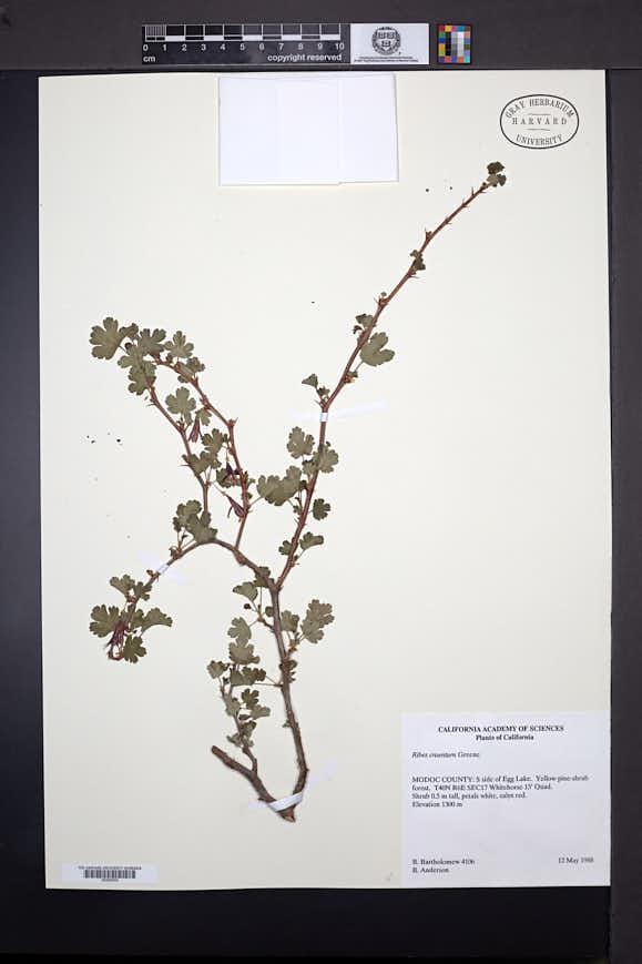 Image of Ribes cruentum