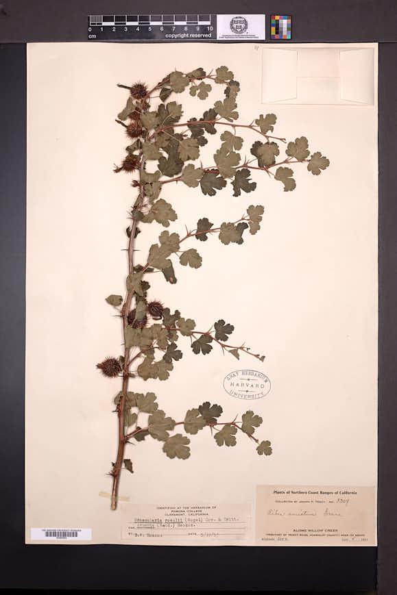Ribes cruentum image
