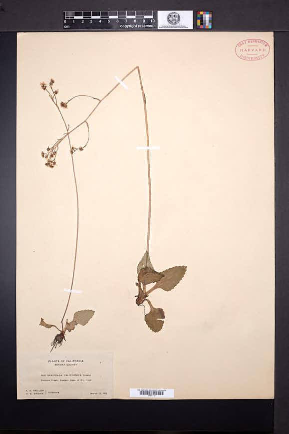 Saxifraga californica image