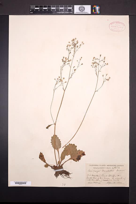 Image of Micranthes marshallii