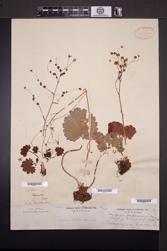 Saxifraga mertensiana image