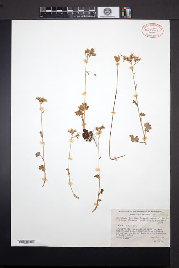 Suksdorfia ranunculifolia image