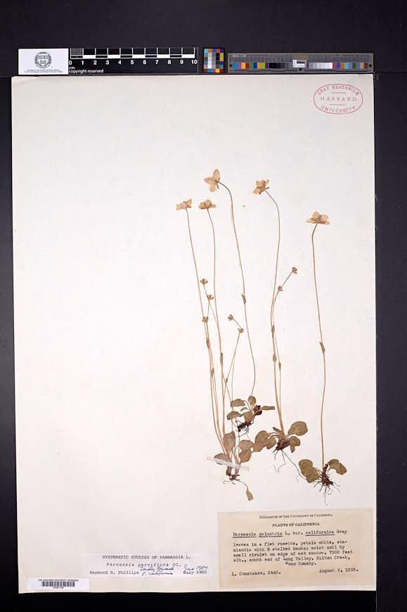 Parnassia palustris image