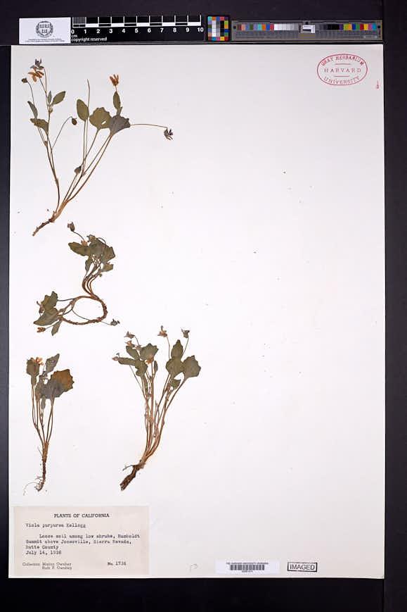 Viola purpurea image