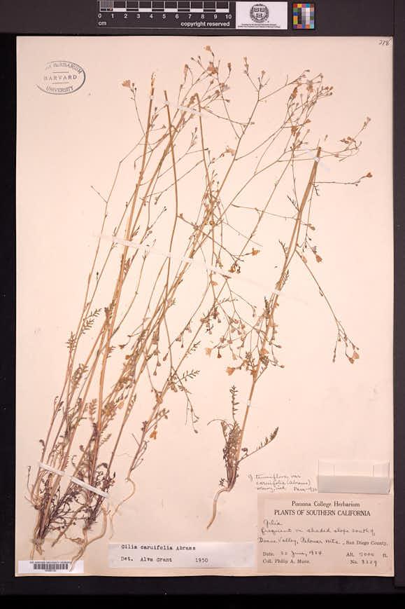 Gilia caruifolia image