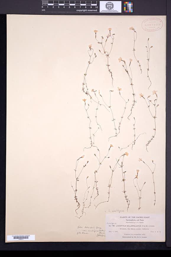 Leptosiphon ambiguus image