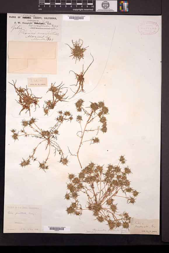 Navarretia prostrata image