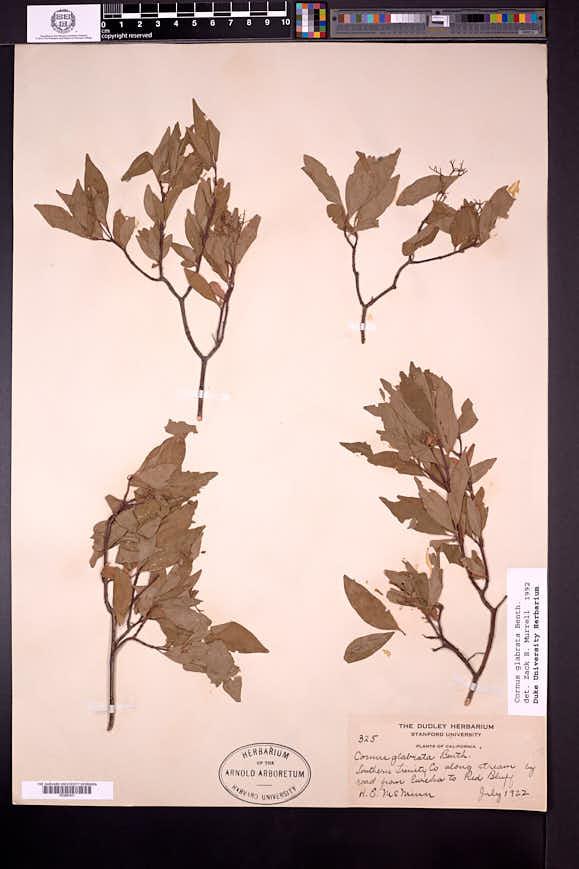 Cornus glabrata image