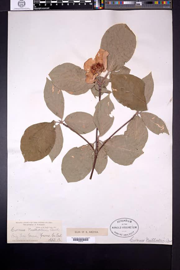 Cornus nuttallii image