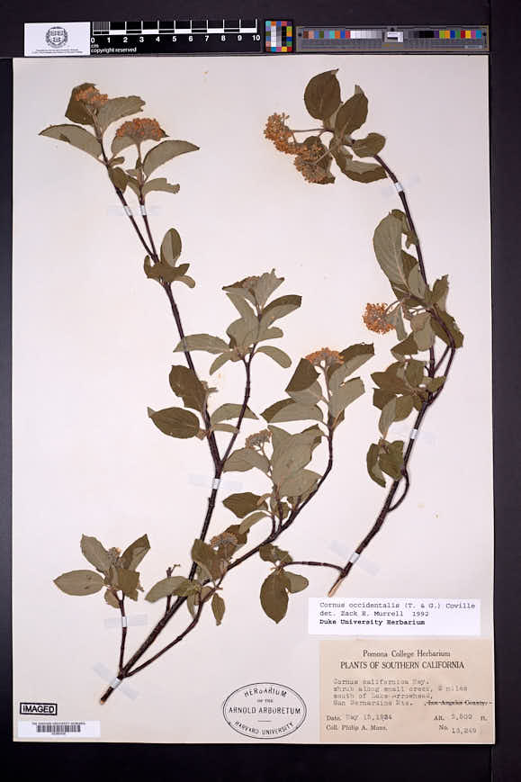 Cornus occidentalis image