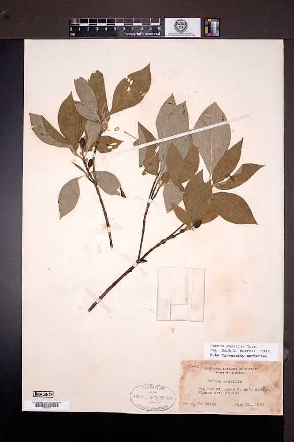 Cornus sessilis image